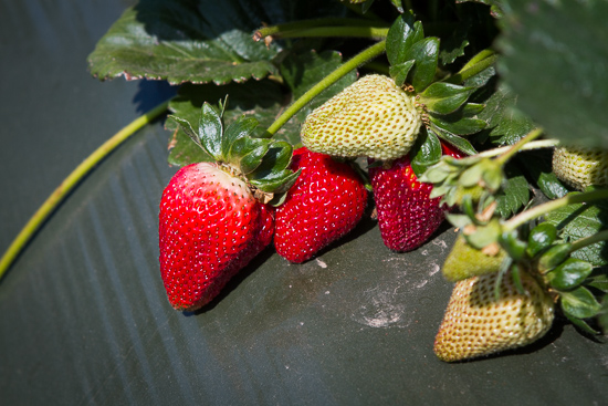 California Strawberries Farm Tour on http://www.theculinarylife.com/2014/california-strawberries-splendid-tour